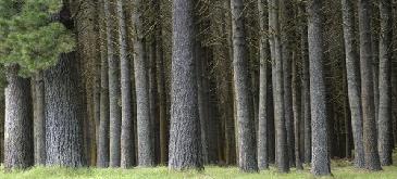 pine forest nice stems_Desktop2.png