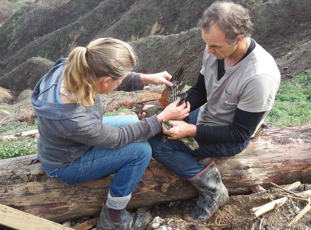 caring for native wildlife kea