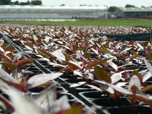 PF Olsen nursery Eucalyptus