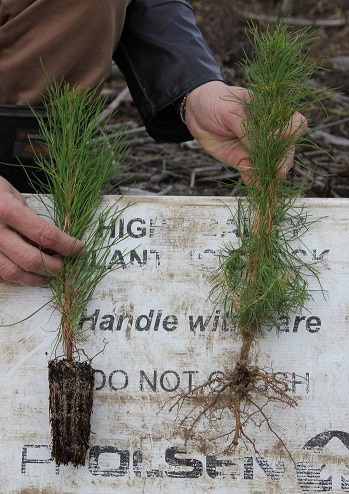 container-grown and bare-root tree-stocks