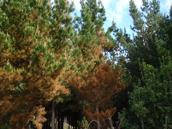 Typical red needle cast symptoms on Radiata pine